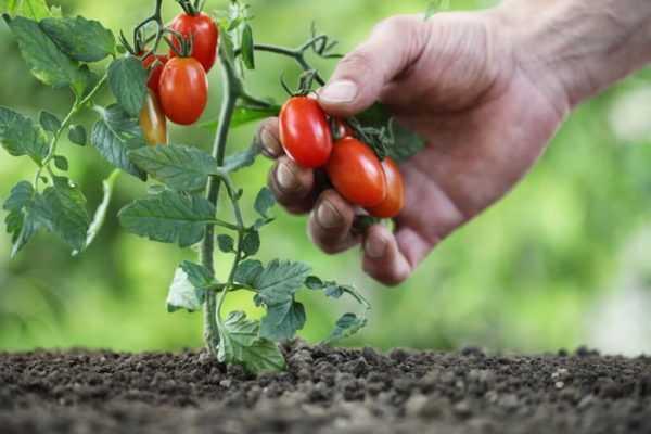 karlikovyye tomaty