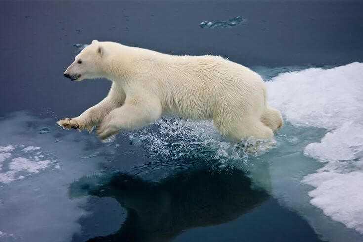 bear medved beliy teg