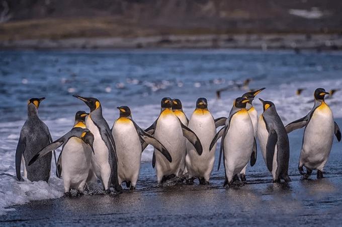 imperatorskiye pingviny tomsk