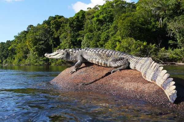 krokodil reka amazonka