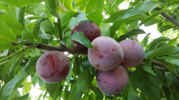 santa roza sliva frukt